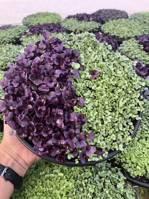 Regular Broccoli and Red Radish Microgreen Tray