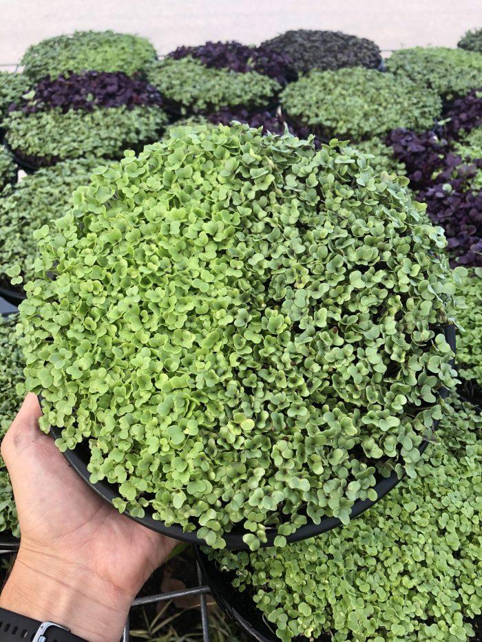 Regular Broccoli and Rocket Microgreen Tray