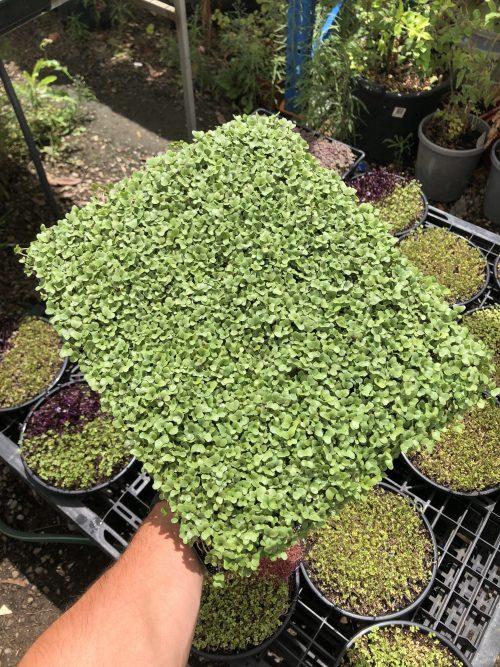 Family Broccoli Microgreen Tray